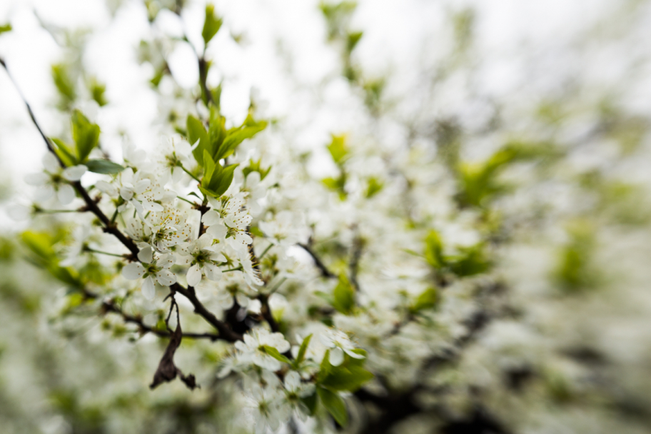 blackthorn blossoms: blackthorn blossoms