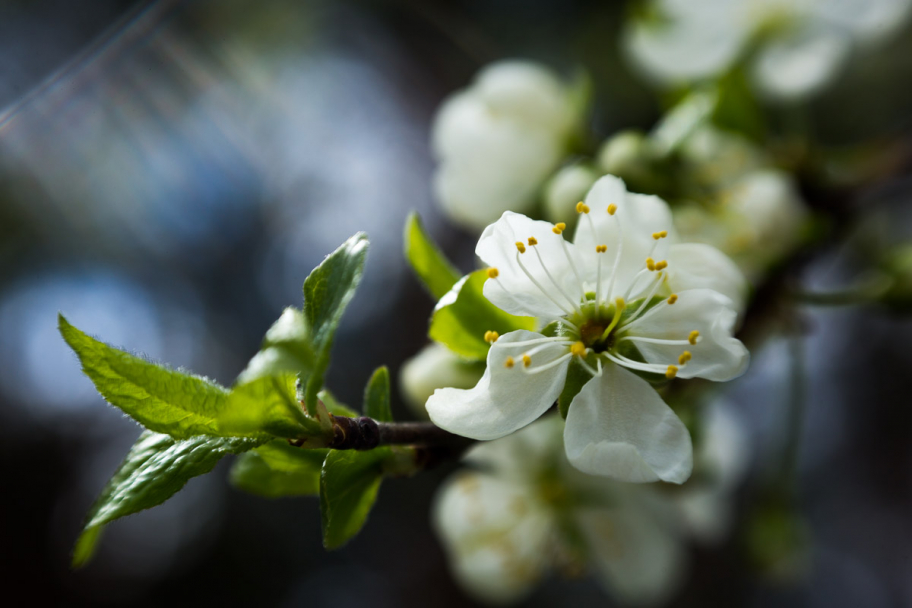apple tree blossoms: apple tree blossoms