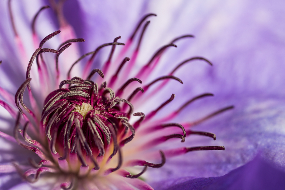 inflorescence of clematis: