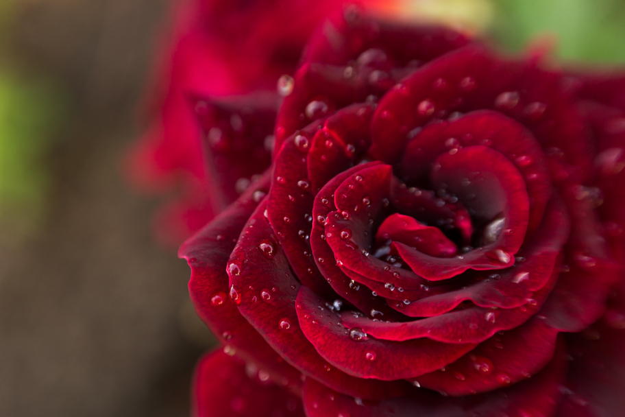red rose: Red rose flower