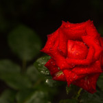 red rose after rain