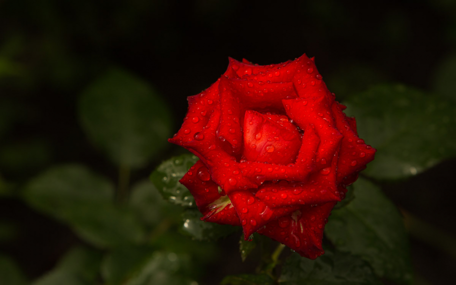 red rose after rain: