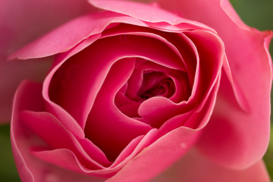pink rose: Macrophoto of pink rose flower
