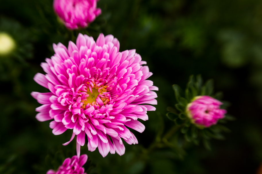 aster flowers: