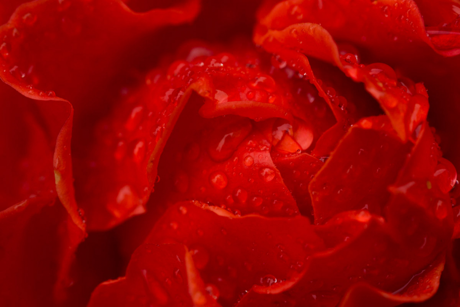 heart of red rose: heart of red rose