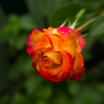 yellow-red rose