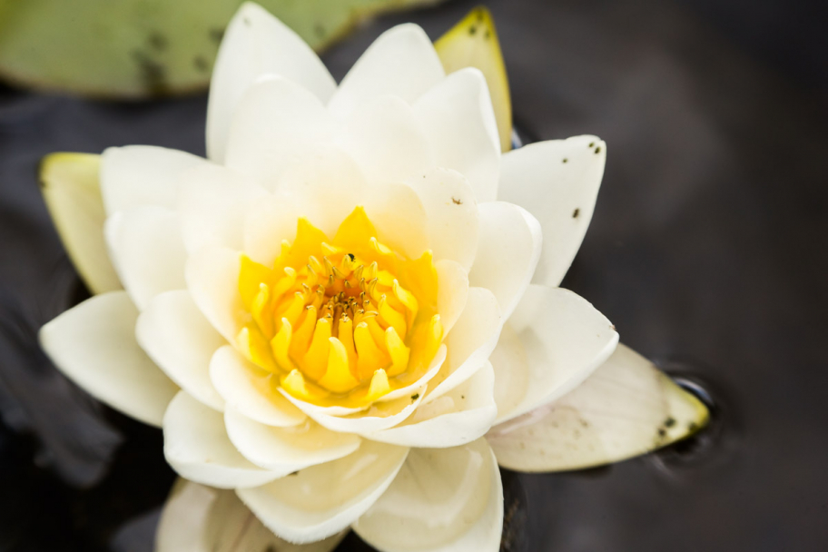 white water lily: