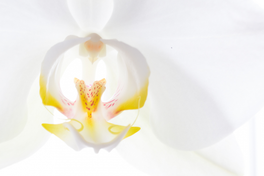 a heart of Phalaenopsis: Macrophoto of white Phalaenopsis orchid flower