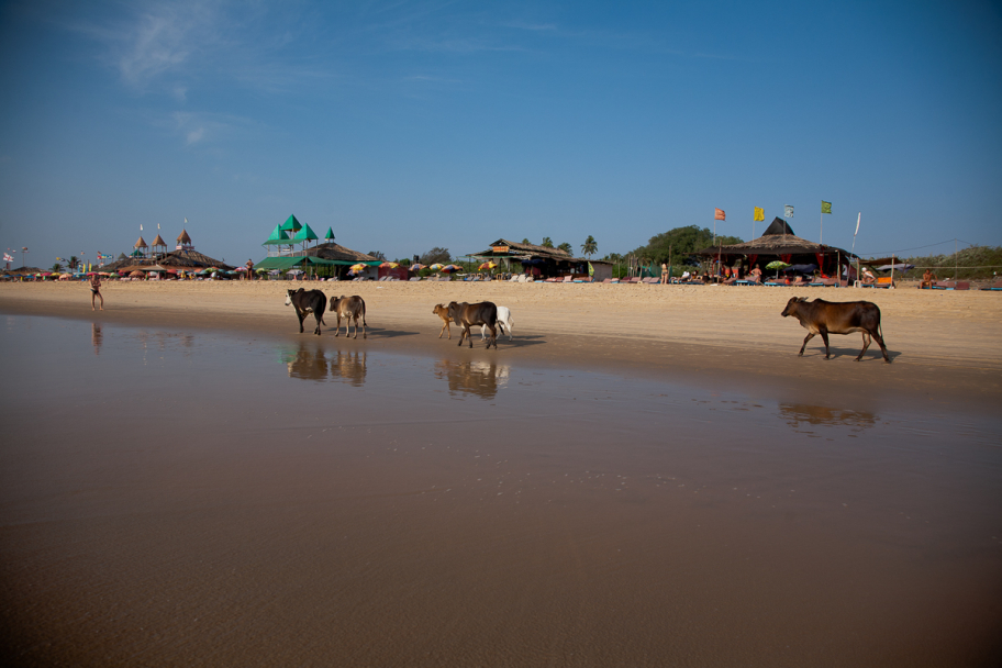 Holy cows at Candolim beach: Holy cows walking down the beach in Calangute, Goa, India